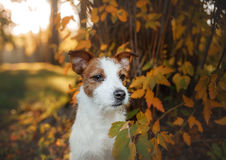 Cute dog portrait in autumn outsude. Jack Russell Terrier dog on nature, cute, beautiful Stock Photos