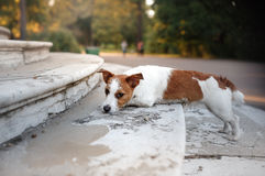 Cute dog portrait in autumn outsude. Jack Russell Terrier dog on nature, cute, beautiful Royalty Free Stock Images