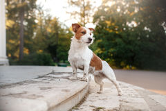 Cute dog portrait in autumn outsude. Jack Russell Terrier dog on nature, cute, beautiful Royalty Free Stock Photo