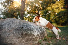 Cute dog portrait in autumn outsude. Jack Russell Terrier dog on nature, cute, beautiful Stock Images