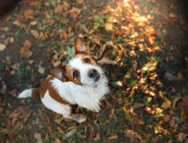 Cute dog portrait in autumn outsude. Jack Russell Terrier dog on nature, cute, beautiful Royalty Free Stock Photos