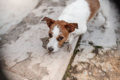 Cute dog portrait in autumn outsude. Jack Russell Terrier dog on nature, cute, beautiful Royalty Free Stock Photography