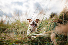 Cute dog portrait in autumn outsude. Jack Russell Terrier dog on nature, cute, beautiful Stock Image