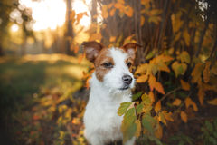 Cute dog portrait in autumn outsude. Jack Russell Terrier dog on nature, cute, beautiful Stock Photo