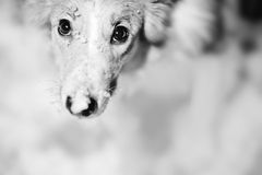 Dog portrait black and white Stock Photos