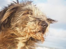 Cute dog portrait with hair flying in the wind. Long haired mixed breed dog portrait with hair and ears flying in the wind Royalty Free Stock Image