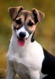 Cute dog portrait. Jack Russel terier dog portrait in autumn fields stock photography