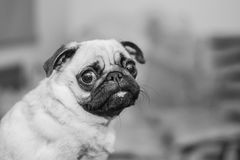 Cute dog portrait, mops black and white photo. Funny dog portrait, cute mops black and white photo Royalty Free Stock Image