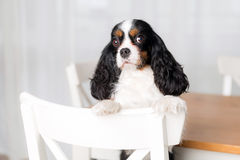 Cute dog portrait. Portrait of cute dog sitting on the kitchen chair Royalty Free Stock Photography