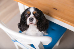 Cute dog portrait. Portrait of cute dog sitting on the kitchen chair Stock Photography