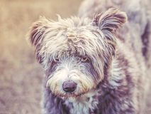 Cute dog portrait, he is slightly shaggy and scruffy. He has a face a little bit like a teddy bear. One ear is raised slightly he. Is grey and white. He has stock photography