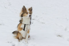Cute dog portrait in the snow. A cute shetland sheepdog poses for the camera in the snow Royalty Free Stock Photo