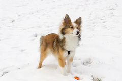 Cute dog portrait in the snow. A cute shetland sheepdog poses for the camera during ball play in the snow Royalty Free Stock Photo