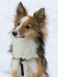 Cute dog portrait in the snow. A cute shetland sheepdog is posing for the camera in the snow Royalty Free Stock Photo