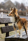 Cute dog poses during snowfall for camera. Cute shetland sheepdog (sheltie) poses for the camera during a snowfall standing on a bench Stock Photography