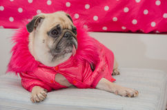 Cute dog pug with fashion pink dress wool sleep rest on pad and looking to something. Stock Photo