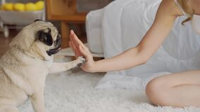 Cute dog Pug giving paw high five owner with love feeling so happiness and comfortable