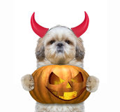 Cute dog with pumpkin in devils costume for Halloween Stock Image