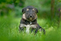 Cute dog pup sitting in the green grass. Animal in the garden. Unhappy young cub dog without mother. Small whelp with tip up ears. Czech royalty free stock images