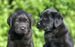 Cute dog puppies Stock Photo