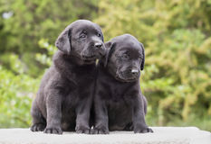 Cute dog puppies Royalty Free Stock Photography