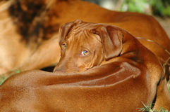 Cute dog puppy. Red wheaten young Rhodesian Ridgeback dog puppy looking backwards to the other puppies of the litter. This baby is very cute Stock Images