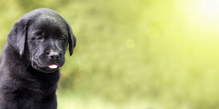 Cute dog puppy banner Royalty Free Stock Photo