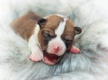Cute dog puppy basenji. African no barking dog Royalty Free Stock Photos