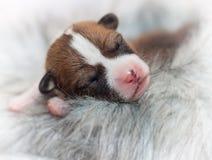 Cute dog puppy basenji Royalty Free Stock Photo