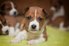 Cute dog puppy basenji. African no barking dog Stock Photos