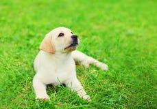 Cute dog puppy Labrador Retriever lying resting on grass Stock Photos