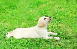 Cute dog puppy Labrador Retriever lying resting on grass Stock Photography