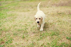 Cute dog puppy Labrador Retriever running Stock Photos