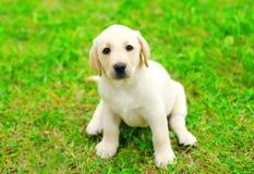 Cute dog puppy Labrador Retriever sitting Stock Photo