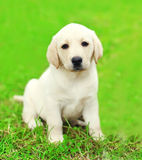 Cute dog puppy Labrador Retriever sitting on grass Stock Images