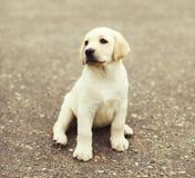 Cute dog puppy Labrador Retriever sitting Stock Images