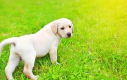 Cute dog puppy Labrador Retriever walking on grass Stock Photos