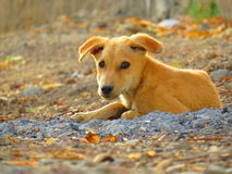 Cute Dog Puppy looking to camera at my street in autumn Royalty Free Stock Images