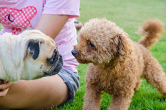 Cute dog puppy pug against Poodle on green field Royalty Free Stock Photo