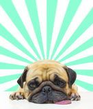 Cute dog puppy Pug sleep by chin and tongue out lay on Floor over abstract sun beam background. Royalty Free Stock Image