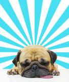 Cute dog puppy Pug sleep by chin and tongue out lay on Floor over abstract sun beam background. Stock Image