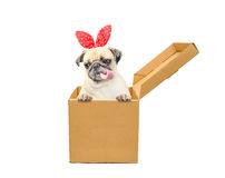 Cute dog puppy pug tongue out with gift bunny ears in a box. Funny little dog looking out of the cardboard box while isolated on w Stock Photos