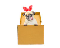 Cute dog puppy pug tongue out with gift bunny ears in a box. Funny little dog looking out of the cardboard box while isolated on w Royalty Free Stock Photo