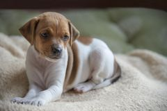 Cute dog puppy. Sitting and looking toward camera stock photography
