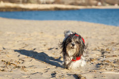 Cute dog in a red sweater running happily on the beach Royalty Free Stock Photography