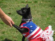 Cute dog in red, white and blue July 4th holiday costume royalty free stock photography