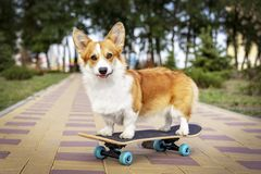 Cute dog redhead pembroke welsh corgi standing a skateboard on the street for a summer walk in the park.  royalty free stock photos
