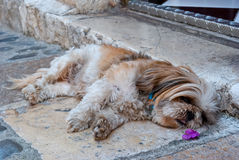Cute dog relaxing Royalty Free Stock Image