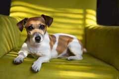 Cute dog relaxing on the green armchair Stock Photos