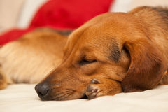Cute dog resting on the couch Royalty Free Stock Photo